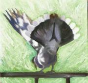 White Winged Dove 2