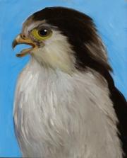 Alpamado Falcon