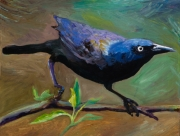 Broad Tailed Grackle
