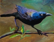 Common Grackle 2