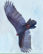 Turkey Vulture 2