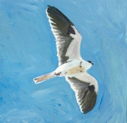White Tailed Kite In-fliight
